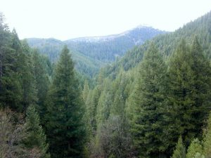 Conifer forest in Northern California Photo from Wikimedia Commons